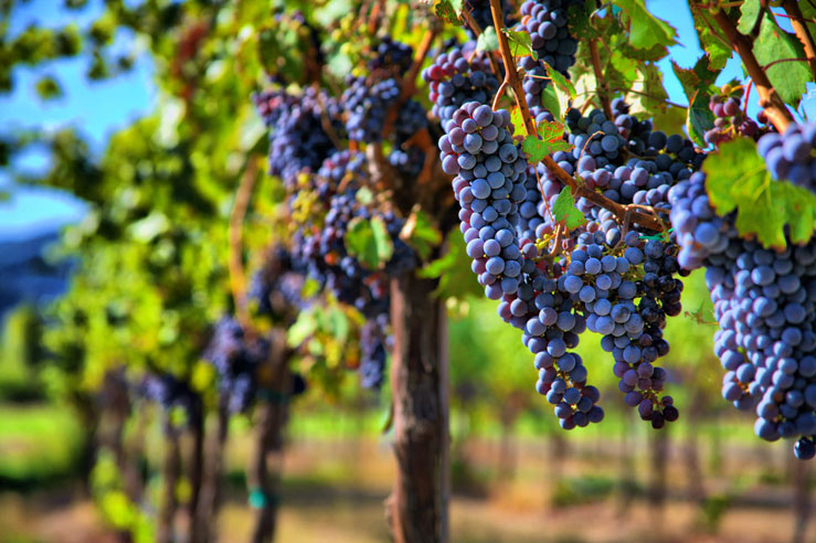 Vineyards and wineries in Sonoma give you a taste of Europe ©Sherri R. Camp/Shutterstock