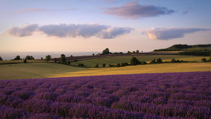 There are 140 miles of lavender at Cotswold Lavender © Cotswold Lavender