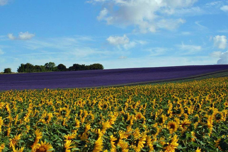 Hitchin Lavender has 35 miles of lavender rows © Hitchin Lavender