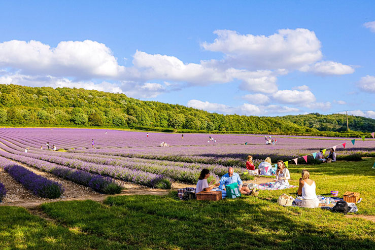 Guests can bring their own picnic and enjoy the lavender fields © Castle Farm