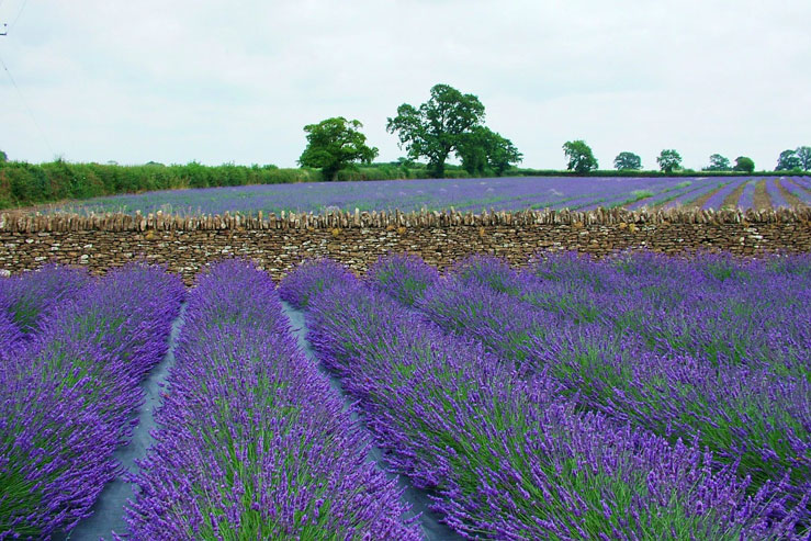 Visitors can walk through two five-acre fields of lavender © Somerset Lavender