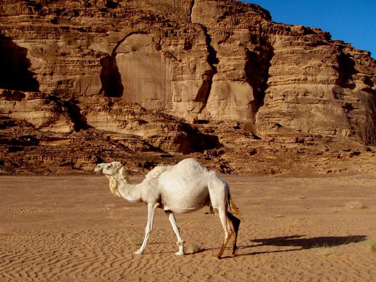 In Wadi Rum, herds of wild camel roam free © calcal5551 / Budget Travel