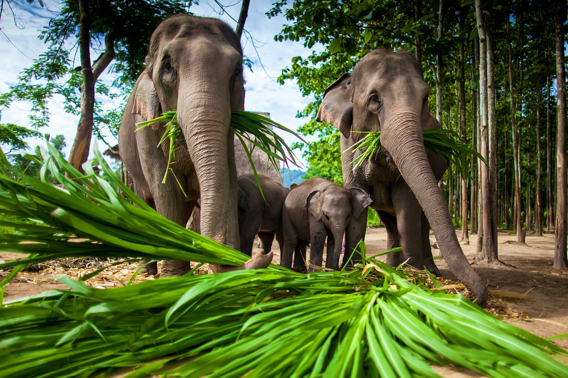 Adult and baby elephants eating sugar cane in Chiang Mai ©hangingpixels/Shutterstock